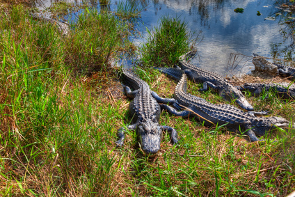 Alligators in the Everglades