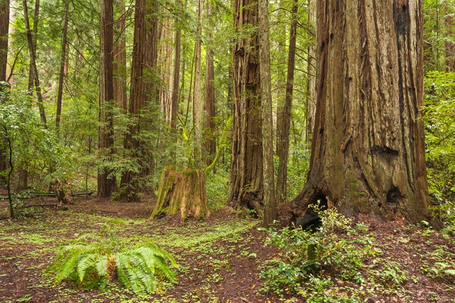 Santa Rosa Armstrong Redwoods State Natural Reserve